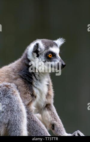 Ring-tailed lemur, lemur catta, sitting on tree close up - Stock Image