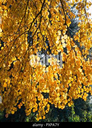 Backlit autumn foliage of the Japanese Katsura tree, Cercidiphyllum japonicum - Stock Image