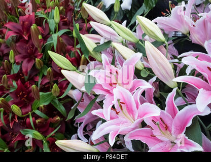 Display of flowering Lilies (aka Oriental Lily), featuring pink Lilium Sorbonne. - Stock Image