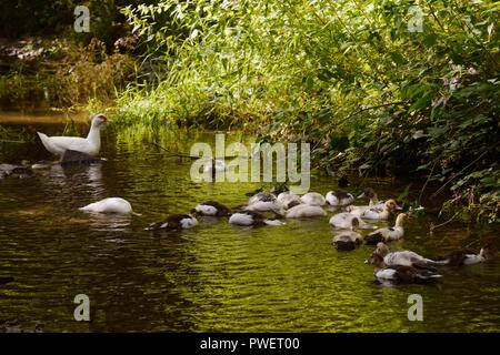 Domestic waterfowl, young Muscovy ducks swimming in a river, Wales, UK - Stock Image