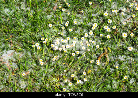 The grey fluff of windblown willow Salix alba seeds surrounds common daisies Bellis perennis in the grass with a few willow catkins - Stock Image