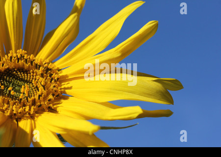 SUNFLOWER PETALS AGAINST A BRIGHT  BLUE SKY HORIZONTAL - Stock Image