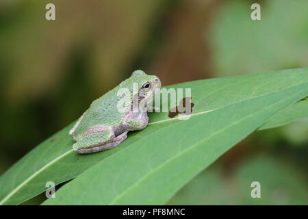 A gray treefrog on a leaf. - Stock Image