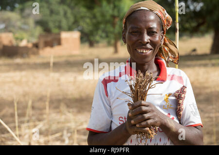 Kisambo Village, Yako, Burkina Faso, 28th November 2016; Catherine Ouaedraogo collecting tallcer - dried leaves of Bombax Costatum, used to make a nutritious sauce. - Stock Image