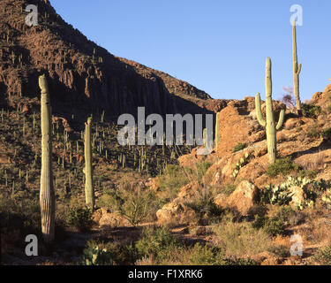 Saguaro National Park - Stock Image