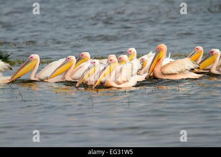 Great white pelicans (Pelecanus onocrotalus) swimming, Lake Nakuru National Park, Kenya - Stock Image