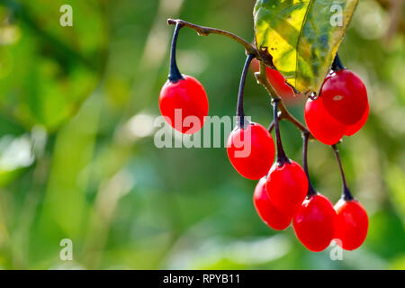 Bittersweet or Woody Nightshade (solanum dulcamara), close up of a cluster of ripe red berries. - Stock Image