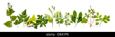 A row of spring leaves found in the hedgerows of the UK. On a pure white background. High resolution. - Stock Image
