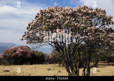 Chengdu. 23rd Apr, 2019. Photo taken on April 23, 2019 shows blooming wild rhododendrons in Yanbian County of Panzhihua City, southwest China's Sichuan Province. Over 100,000 mu (66,667 hectares) wild rhododendrons are in bloom in Yanbian County from February to May. Credit: Jiang Hongjing/Xinhua/Alamy Live News - Stock Image