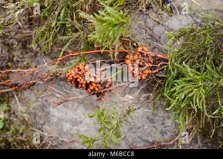 Alnus glutinosa, Alder root nodules containing symbiotic nitrogen fixing bacteria, Wales, UK. - Stock Image