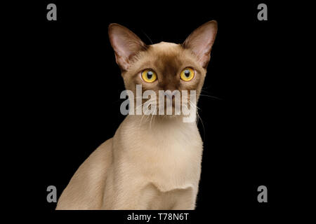 Portrait of Chocolate Burma Cat Stare in Camera isolated on black background, front view - Stock Image