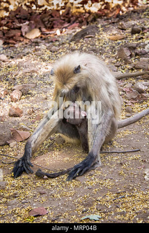 Mother Gray Langur or Hanuman Langur, Semnopithecus, nursing her small baby, Bandhavgarh National Park, Tala, Madhya Pradesh, India - Stock Image