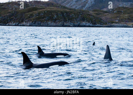 Orca, or Killer Whale (Orcinus orca) in their winter feeding ground in fjords of Norway, surfacing next to the whale watching boat - Stock Image