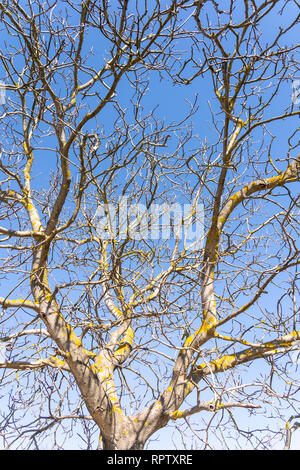 A walnut tree with yellow lichen and bare branches illuminated in the bright winter sunshine - Stock Image