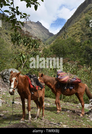 Horses carrying camping equipment on the Inca Trail to Machu Picchu. Cusco, Peru - Stock Image