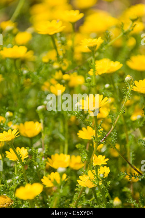 Yellow colored flowers growing wild in the Algarve, southern Portugal - Stock Image