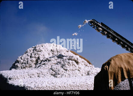 Cotton collected via conveyor belt; Bukhara, Uzbekistan. - Stock Image