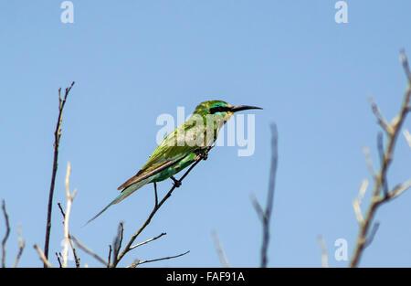 green bee eater, sierra leone. - Stock Image