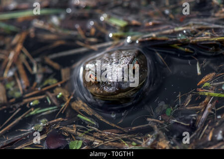 The Common Toad with its head popping up out of a pond. - Stock Image