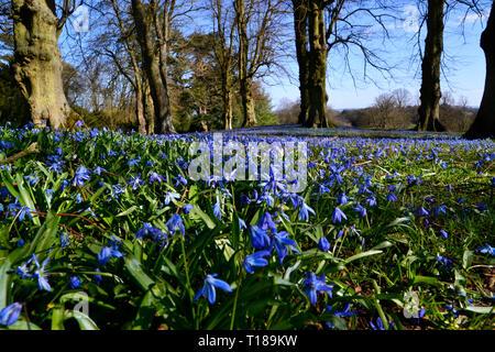Waddesdon, Buckinghamshire, UK. 24th Mar 2019. Waddesdon Manor, Buckinghamshire, UK - carpet of blue flowers in the spring sunshine. Credit: Susie Kearley/Alamy Live News - Stock Image