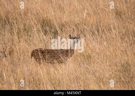 Adult wild Chital or Spotted Deer doe, Axis axis, sniffing the air in Bandhavgarh National Park, Madhya Pradesh, - Stock Image