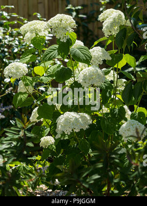 Hydrangea Strong Annabelle, large white flowers - Stock Image
