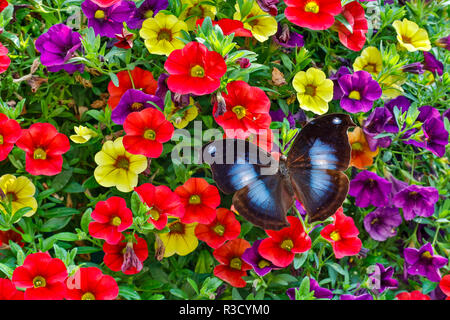Blue Hookwing Butterfly, Napeocles jucunda on flowering million bells. - Stock Image