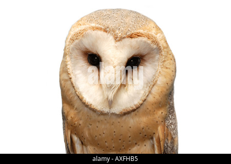 European Barn Owl Cut Out - Stock Image