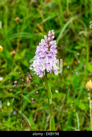Common spotted orchid Dactylorhiza fuchsii, Cressbrook Dale NNR Peak District National Park June 2014 - Stock Image