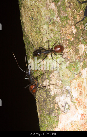 Ants on tree trunk in rain forest, Borneo - Stock Image