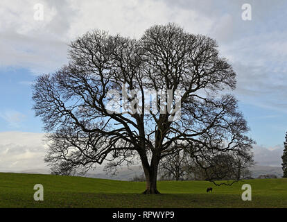 Oak tree in winter with sheep. Castle Green, Kendal, Cumbria, England, United Kingdom, Europe. - Stock Image
