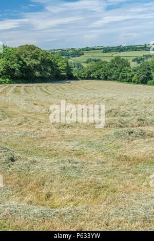 Newly mown hay drying in a field before being baled. - Stock Image