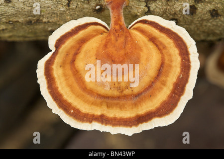 bracket fungus on dead tree-trunk in rain-forest, Borneo - Stock Image