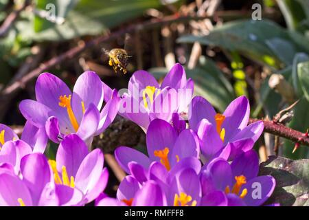 Hailsham, East Sussex, UK. 15th Feb 2019.UK weather.A Bee collects pollen while feeding on crocus flowers today in Hailsham, East Sussex, UK. Credit: Ed Brown/Alamy Live News - Stock Image