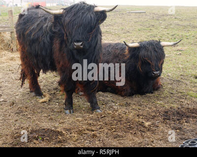 Black cows on the island of Fair Isle, the remotest UK permanently inhabited islands.  It is located between the islands of Orkney & Shetland. - Stock Image