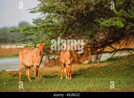 Nilgai or Blue Bull, (Bosephalus tragocamelus), female with calf, Keoladeo Ghana National Park, Bharatpur, Rajasthan, - Stock Image