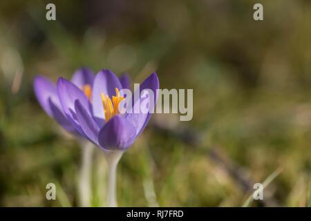 Frühblüher in der Natur, lila Krokusse mit geöffneten Blüten - Stock Image