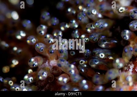Close-up of developing eggs of Clark's anemonefish (Amphiprion clarkii), Gaafu Alifu Atoll, Maldives - Stock Image
