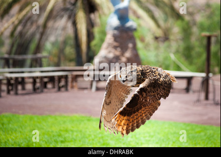 Eagle owl in flight with wings down - Stock Image