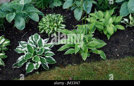 Hostas 'Patriot', fortunei 'Albopicta' and undulata in a cottage garden - Stock Image