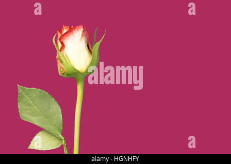 A single rose flower and stem on magenta background - Stock Image