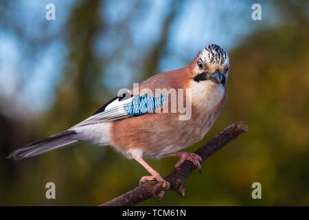 Closeup of a Eurasian jay bird (Garrulus glandarius) perched on a branch autumn colors on the background. - Stock Image