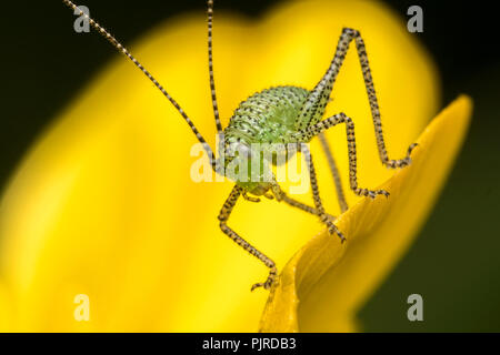 Speckled Bush Cricket nymph (Leptophyes punctatissima) on buttercup. Tipperary, Ireland - Stock Image