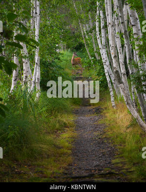 Young doe stands in the trail at Sieur de Monts in Acadia National Park in Maine - Stock Image