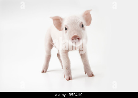 Pink piglet - Stock Image