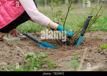 Closeup of gardeners hand in protective gloves with garden tools working the soil under rose bush, spring gardening. - Stock Image