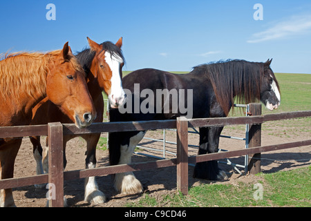 Shire horses at the Hillside Animal Sanctuary in Norfolk - Stock Image