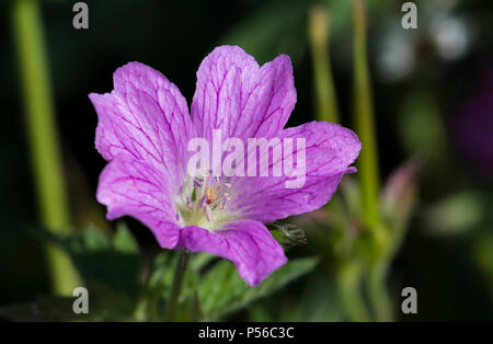 Single purple Druce's Crane's-Bill flower (Geranium × oxonianum) growing in a park in Summer in the UK. - Stock Image