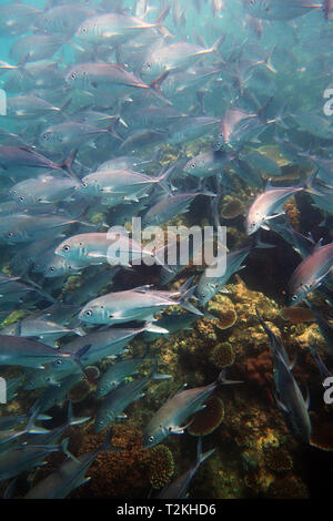School of bigeye trevally () at Moore Reef, Great Barrier Reef, Queensland, Australia - Stock Image