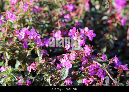 Beautiful pinkish purple little flowers in a closeup. The flowers are forming a mat of flowers and leaves. Lovely background / texture photo. - Stock Image